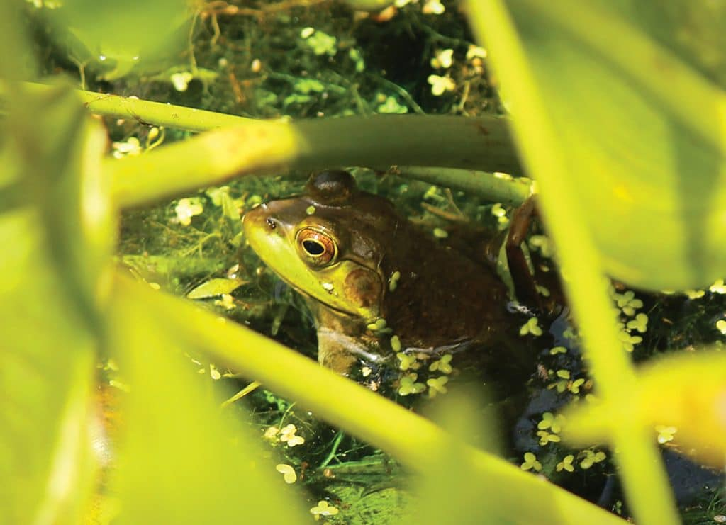 creatures of the night - frogs and toads